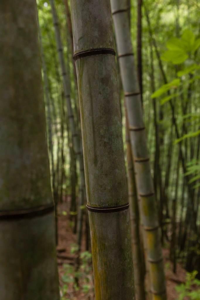 Bamboo forest, Nakasendo trail